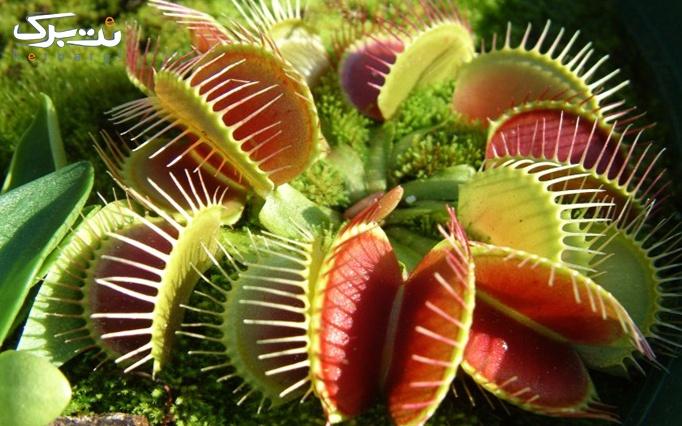 انواع گیاهان گوشتخوار و حشره خوار از کشت بافت زرین
