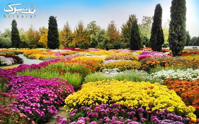 شمیم گل های داوودی در باغ گیاه شناسی ملی ایران