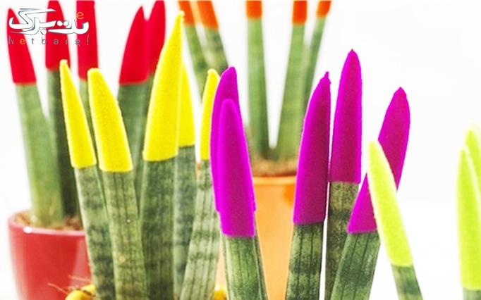 گل سانسوریا رنگی از فروشگاه گل سوگلی